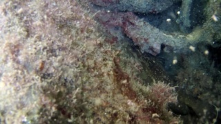 The Grouper of Mediterranean Sea in the den