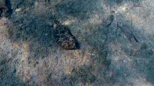 Il Rombo di rena - Bothus podas - Wide-eyed flounder - intotheblue.it