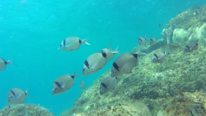 Two-banded sea bream - Diplodus vulgaris