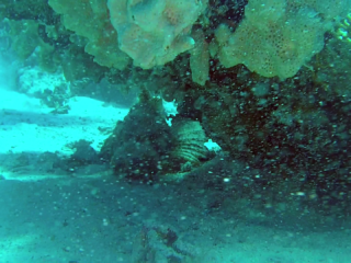 Il Pesce Pietra - Synanceia Verrucosa - Reef Stonefish - Intotheblue.it