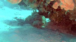 Pesce Pietra - Synanceia Verrucosa
