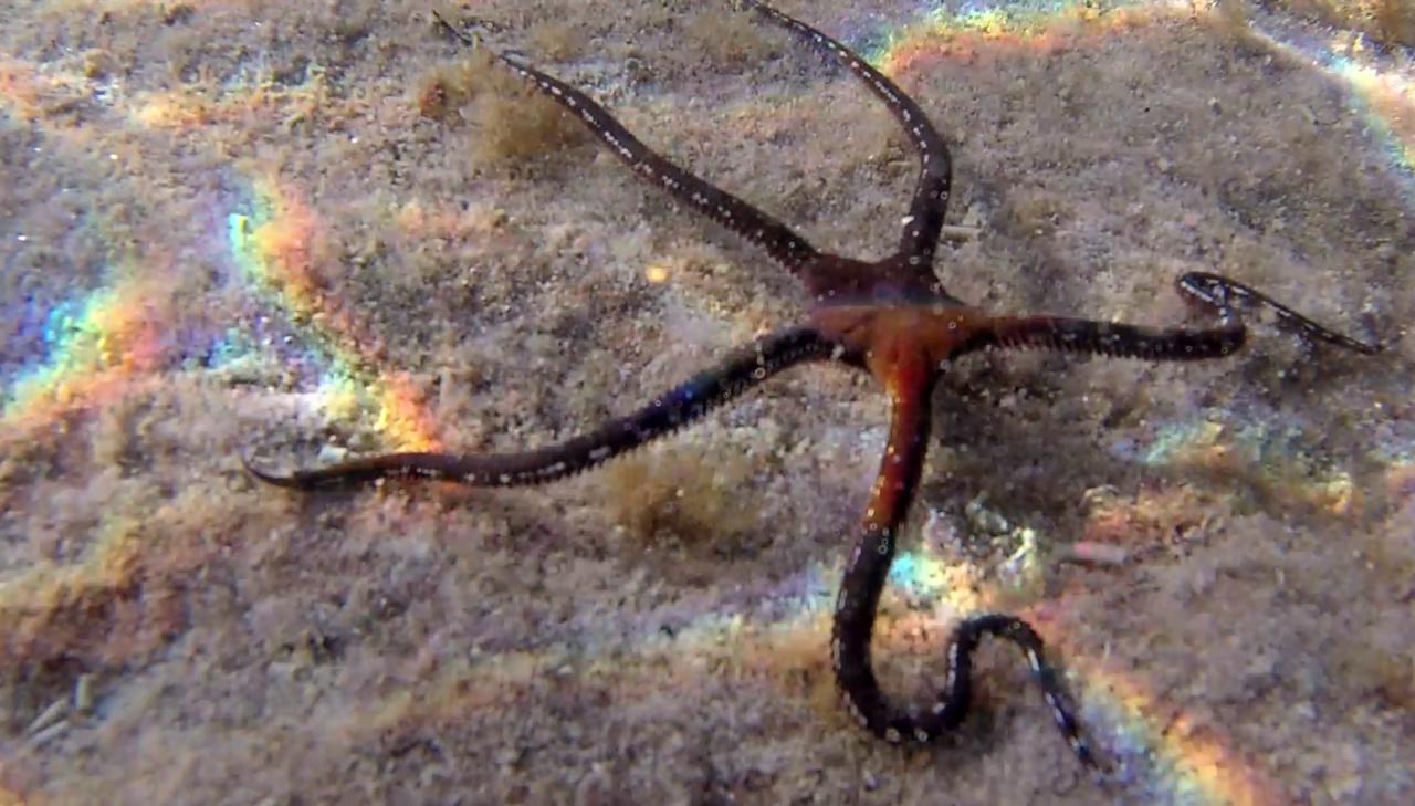 La Stella Serpentina Liscia - The Brittle Starfish - Ophiodermatidae - intotheblue.it