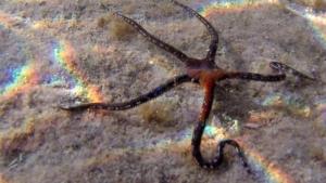 Brittle Starfish - Ophioderma longicauda