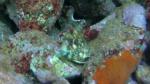 Bavosa Cornuta - Parablennius tentacularis