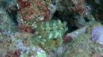 Tentacled Blenny Parablennius tentacularis intotheblue.it