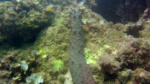 Oloturia - Holothuria tubulosa