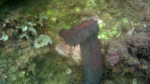 Reproduction Sea Cucumber intotheblue.it
