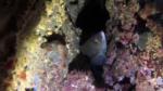 Tordo Nero - Labrus merula