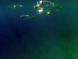 Lo Sgombro Indo-Pacifico - The Indian Mackerel - Rastrelliger Kanagurta - Intotheblue.it