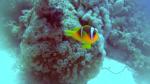 Pesce Pagliaccio di Clark - Amphiprion clarkii