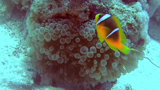 The Yellowtail Clownfish