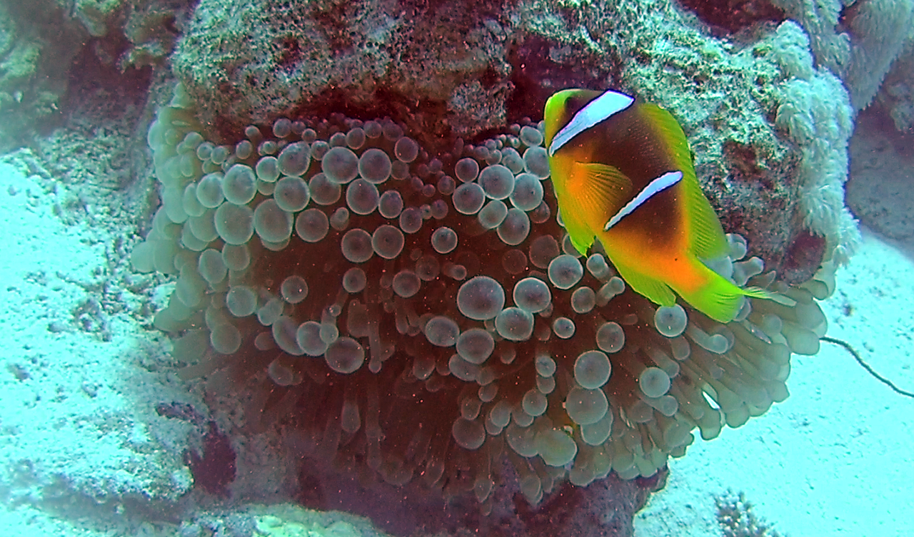 Il Pesce Pagliaccio dalla Coda Gialla - The Yellowtail Clownfish - Amphiprion clarkii - intotheblue.it