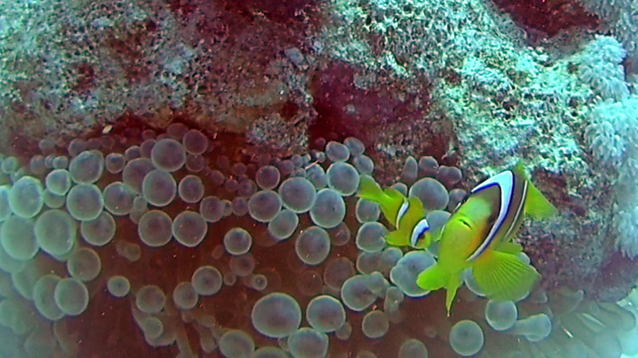 Il Pesce Pagliaccio dalla Coda Gialla - The Yellowtail Clownfish - Amphiprion clarkii - intotheblue.it