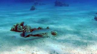 The Great Barracuda