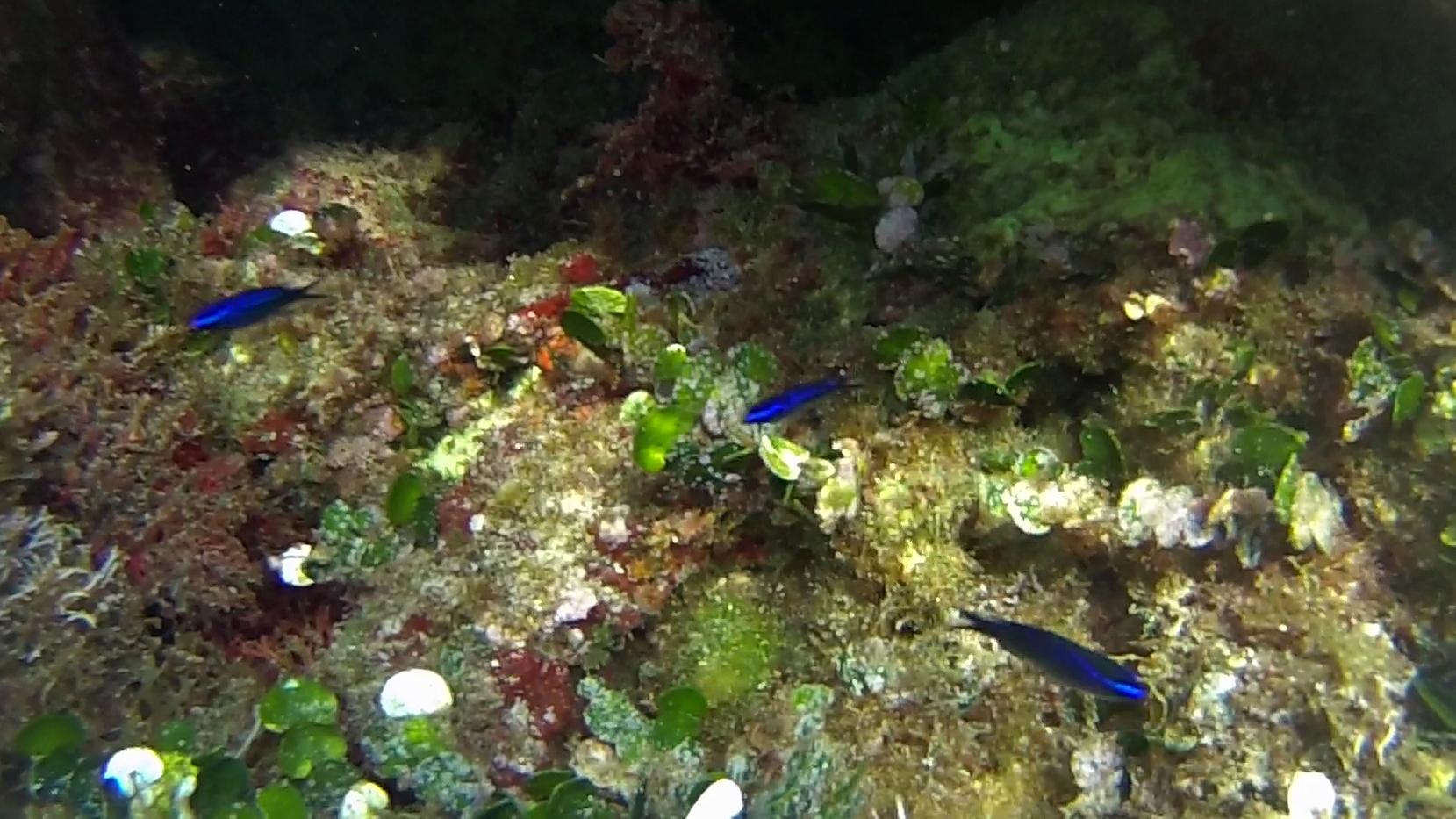 Castagnole Blu Damselfish Chromis Chromis