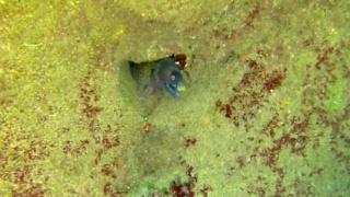 Mediterranean Moray - Moray Eel