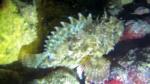 Black scorpionfish Scorpaena Porcus intotheblue.it