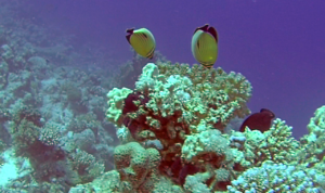 Pesce Farfalla Austriaco - Chaetodon Austriacus