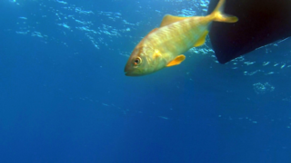 Curious fishs visit the Diver in decompression