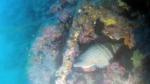 Tritone Mediterraneo Tritone gigante - Charonia tritonis