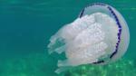 Il Polmone di Mare - the Barrel Jellyfish - Rhizostoma Pulmo - intotheblue.it