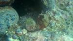 Murex trunculus reproduction intotheblue.it