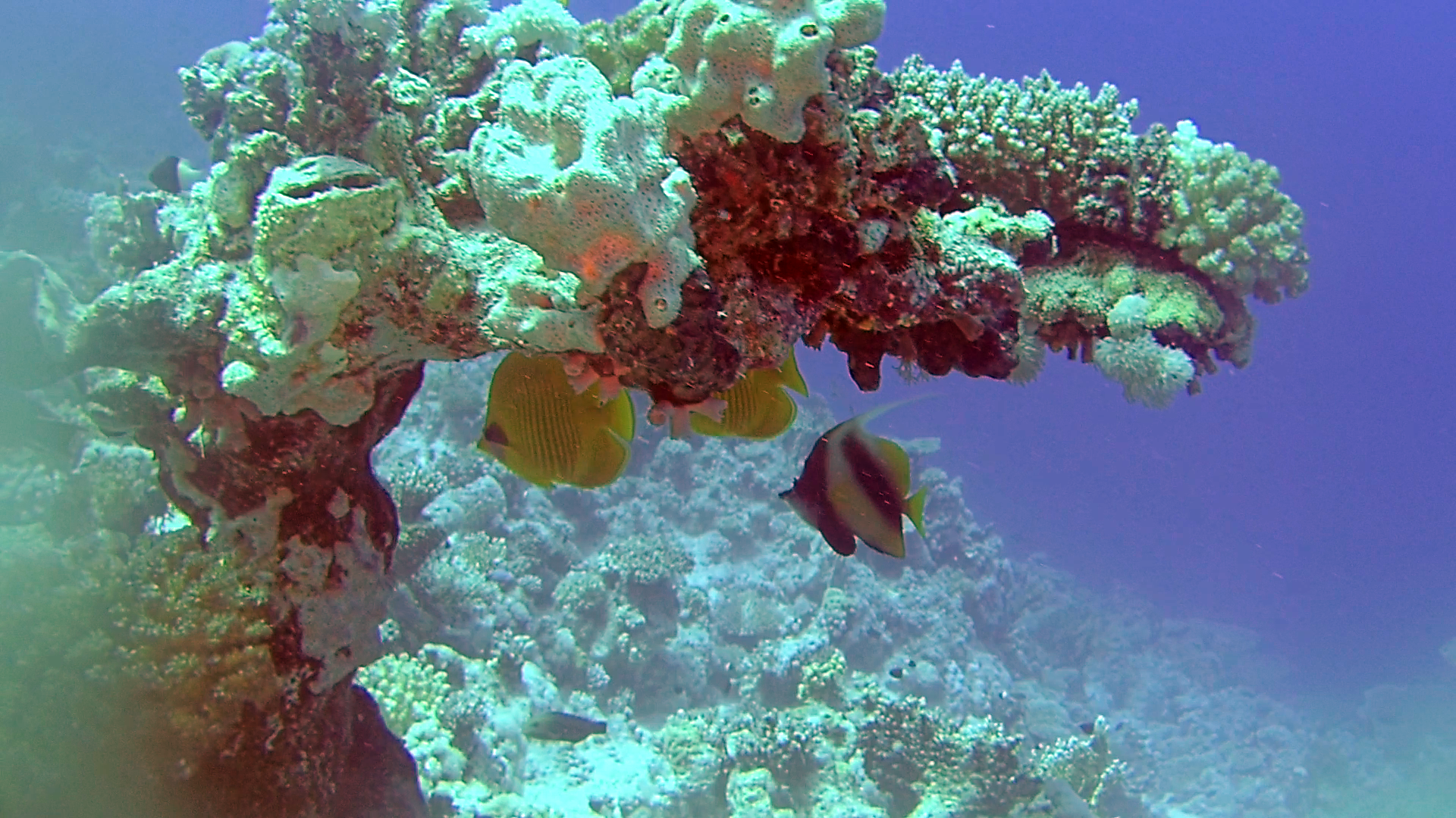 Pesce Farfalla Mascherato - Blue-cheeked Butterflyfish - Chaetodon semilarvatus - intotheblue.it