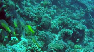 Triglia Tropicale del Mar Rosso