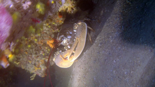 Mediterranean Sea Lobster