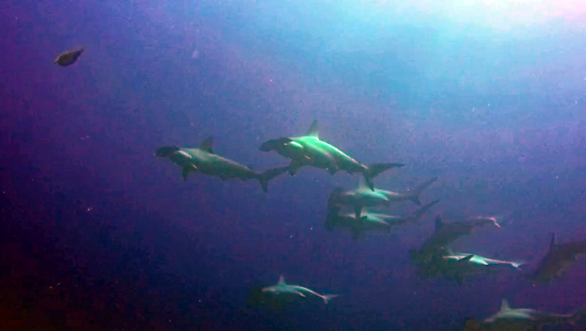 Gli Squali Martello - The Hammerhead Sharks - intotheblue.it