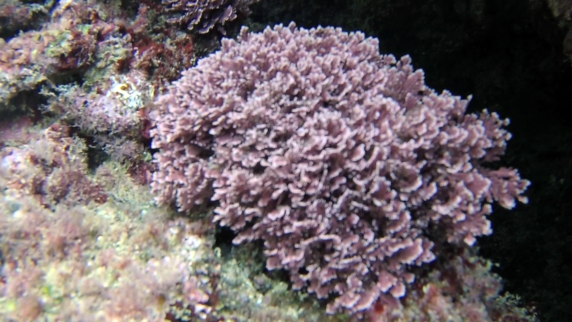 Alga Corallina