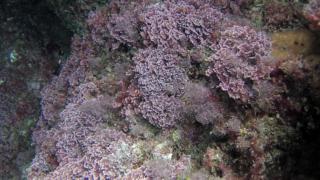 Seaweed Corallina Officinalis Caespitosa