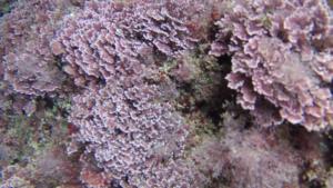 Seaweed Corallina - Officinalis Caespitosa