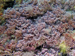 "Alga Corallina ""officinalis Caespitosa"" - Seaweed Corallina ""officinalis Caespitosa"" - Red Seaweed - Intotheblue.it"