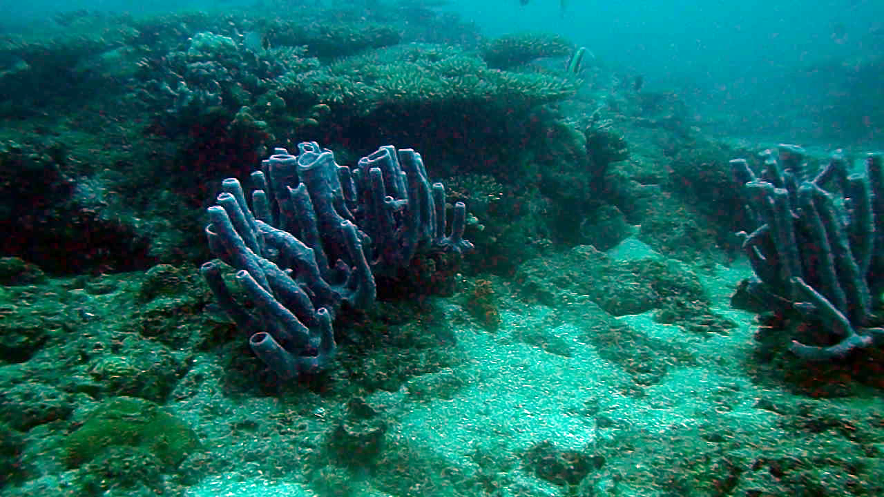 Spugna marina tubolare - Callyspongia - intotheblue.it