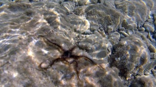 The Common Brittle Star