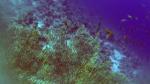 Gorgonia Ventaglio - Gorgonia Flabellum