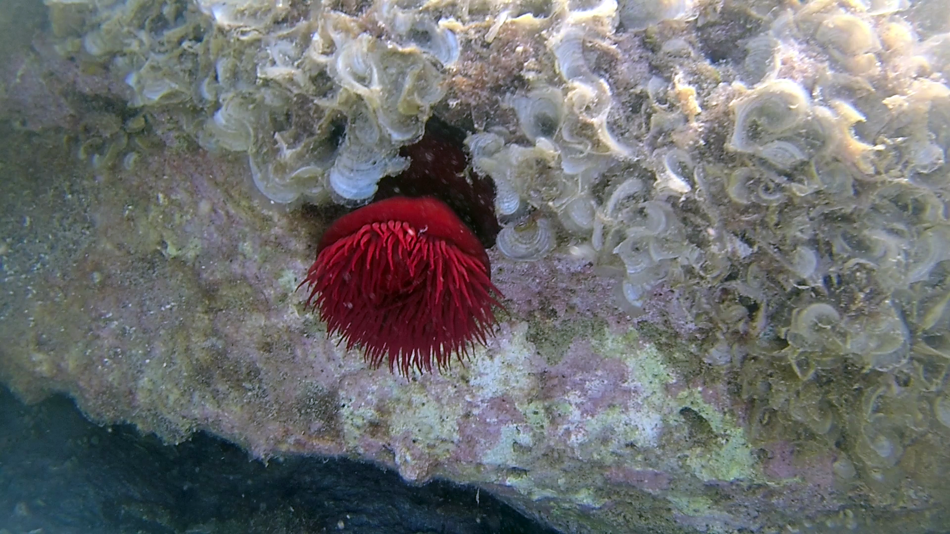 Il Pomodoro di mare - The beadlet Anemone - Actinia equina - intotheblue.it