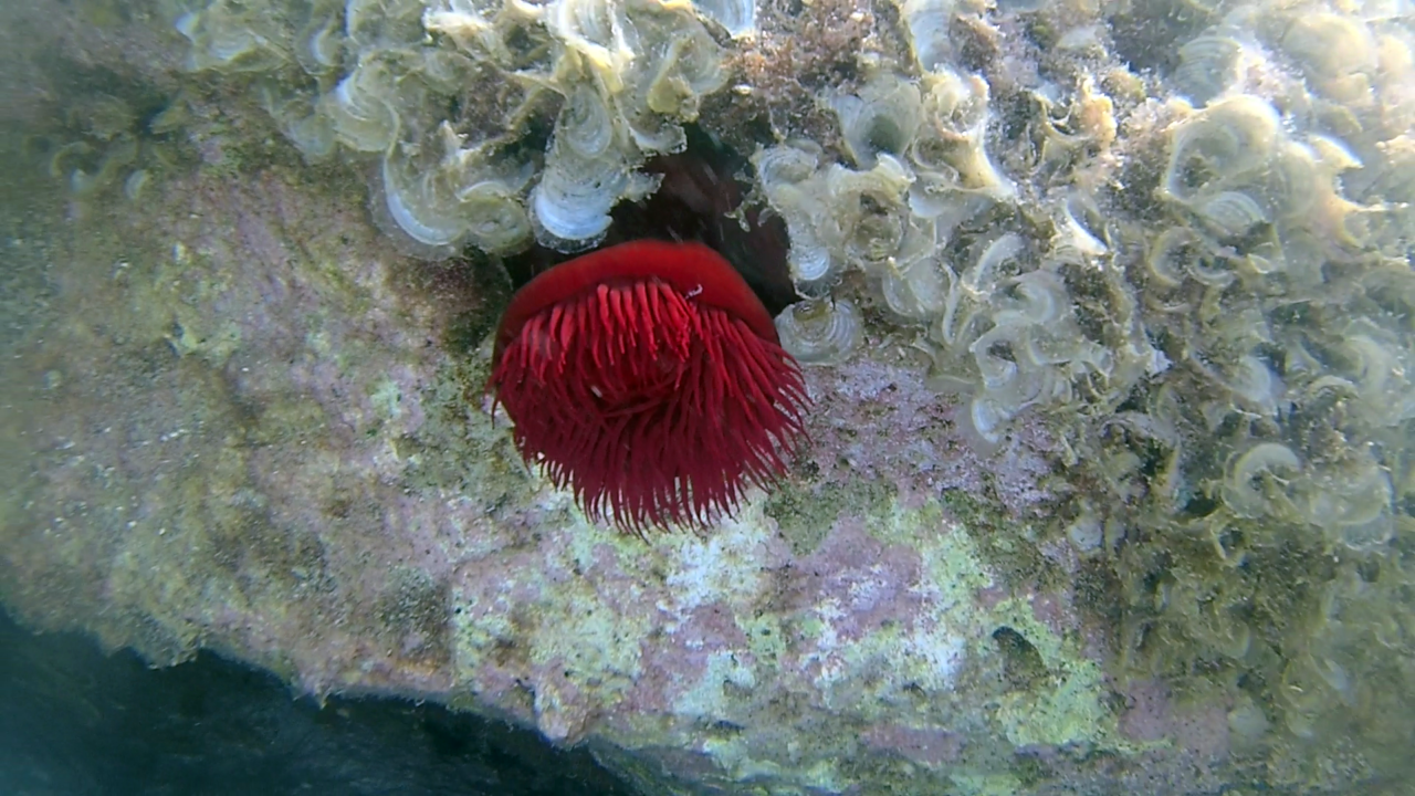 Il Pomodoro di mare - The beadlet Anemone - Actinia equina - intotheblue.it