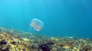 Olindias Phosphorica Jellyfish
