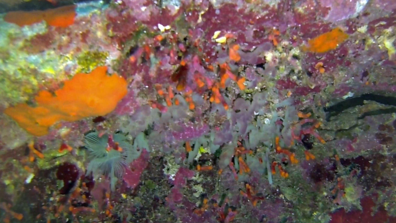Myriapora Truncata Falso Corallo Briozoi Briozoa Intotheblue.it - Sardegna Isola di S.Pietro