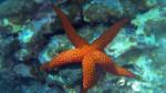 Myriapora Truncata Stella Marina Rossa Intotheblue.it - Sardegna Isola di S.Pietro