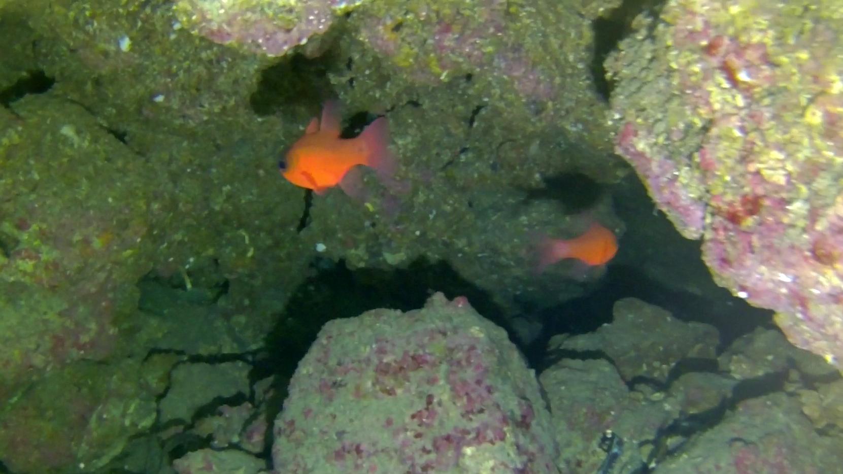 Pesce Cardinale Re di Triglie Apogon imberbis Cardinalfish