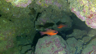 Pesce Cardinale o Re di Triglie Apogon imberbis