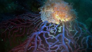 Scorfano Rosso del Mediterraneo su Gorgonia Rossa