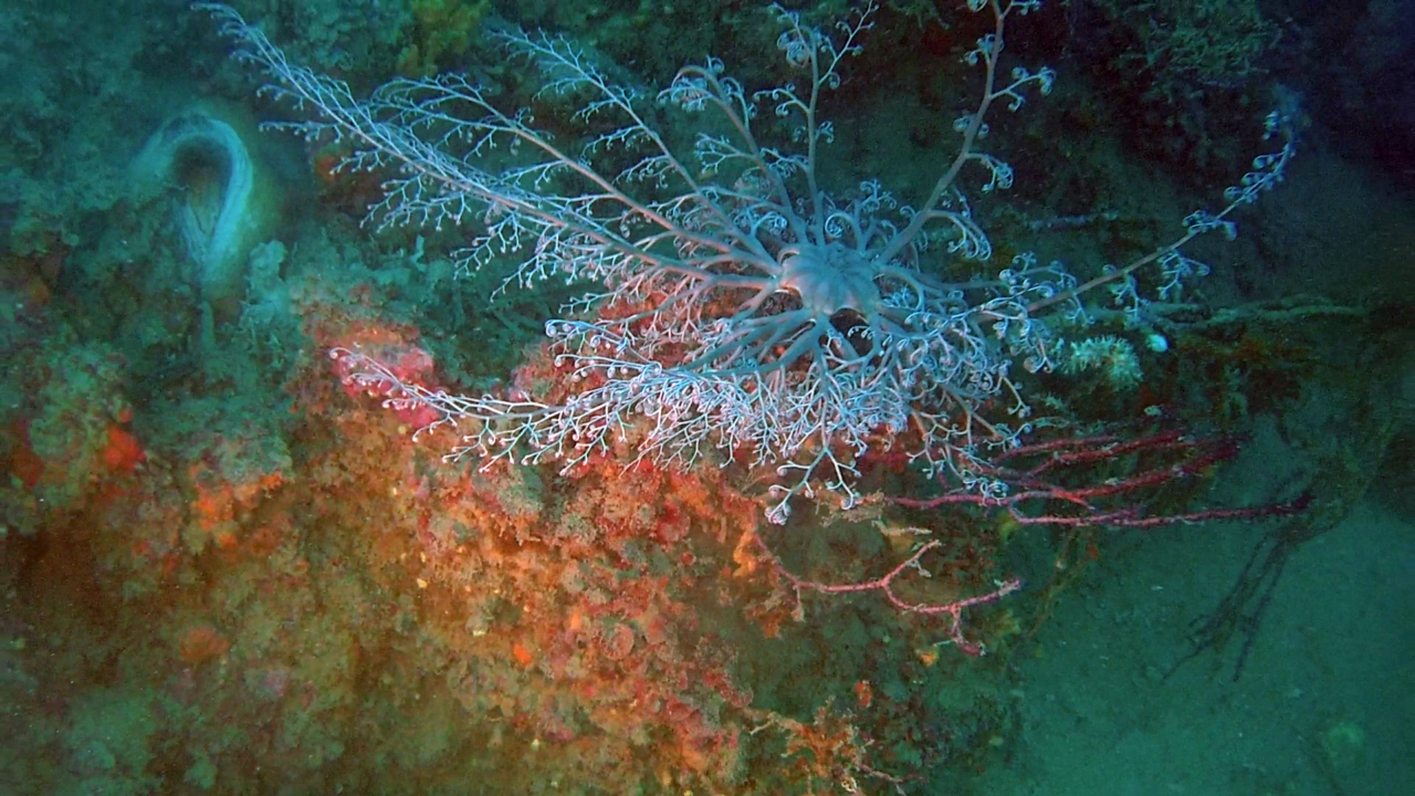 La Stella Gorgone - The Basket Star - Astrospartus mediterraneus - intotheblue.it