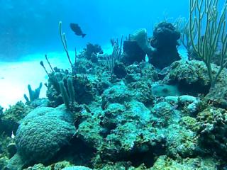 La Spugna Callyspongia Plicifera - The Azure Vase Sponge - Intotheblue.it