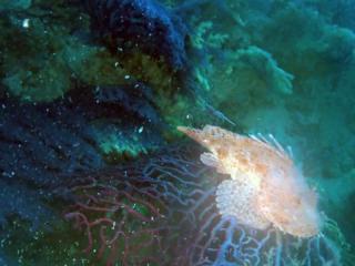 Lo Scorfano Rosso Del Mediterraneo - Scorpaena Scrofa - Red Scorpionfish Of Mediterranean Sea On Violescent Sea-Whip - Intotheblue.it