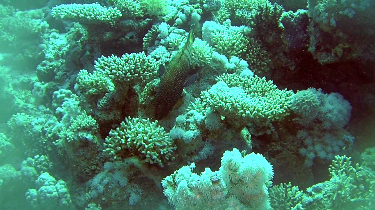Cernia Pavone - Cephalopholis Argus - Bluespotted Grouper - La Cernia dalle Macchie Blu - intotheblue.it