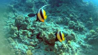 Pesce Farfalla Bandiera del Mar Rosso - Heniochus intermedius